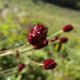 霧ヶ峰高原 高山植物 ワレモコウ